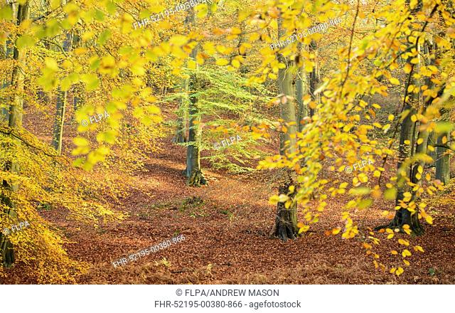 Common Beech (Fagus sylvatica) deciduous woodland habitat, with leaves in autumn colour, Staffordshire, England, November