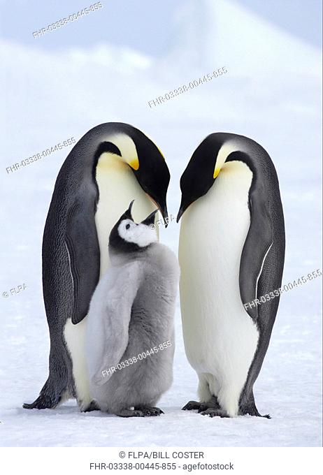 Emperor Penguin Aptenodytes forsteri adult pair with chick, begging, standing on ice, Snow Hill Island, Weddell Sea, Antarctica