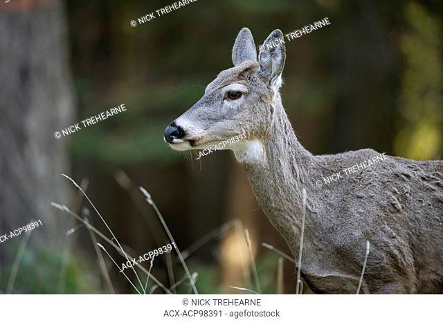 whitetail, deer, Odocoileus virginianus, doe, female, rocky mountains, Idaho, United States