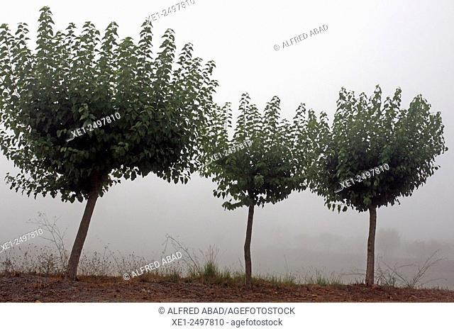 Trees in fog, Anoia, Catalonia, Spain