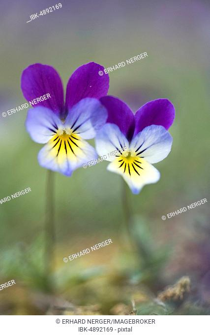 Heartsease or Wild Pansy (Viola tricolor), Emsland region, Lower Saxony, Germany