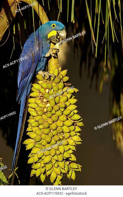 Hyacinth Macaw (Anodorhynchus hyacinthinus) in the Pantanal region of Brazil