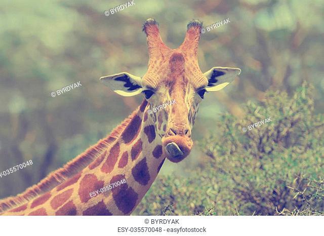 Giraffe in the wild. Africa, Kenya