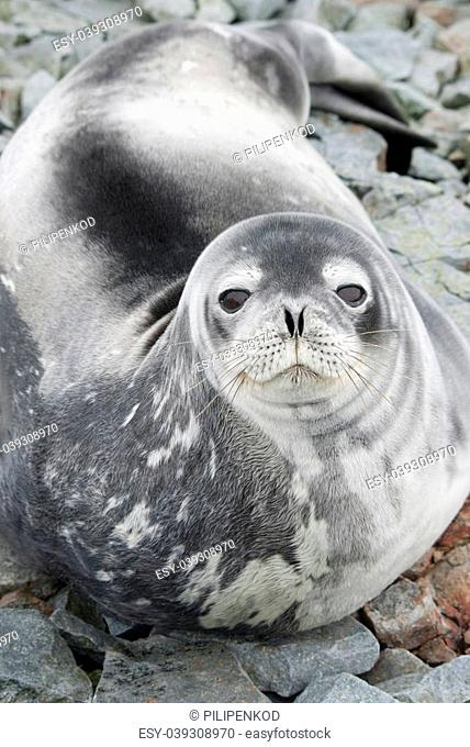 Portrait of Weddell seals on the rocks of the tide in the spring strip