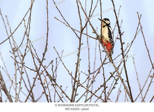 A great woodpecker on a branch