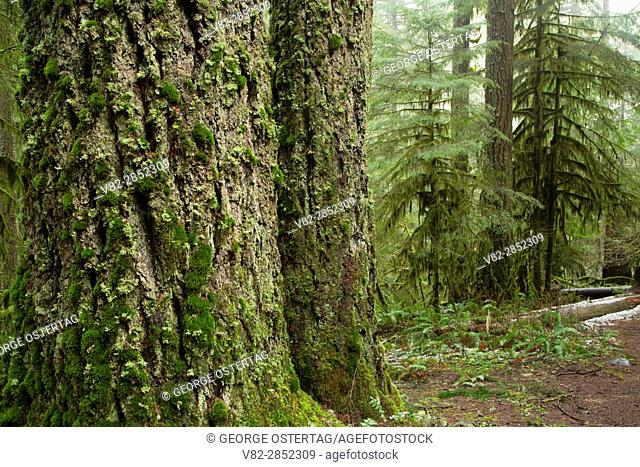 Forest along Butte Creek Falls Trail, Santiam State Forest, Oregon