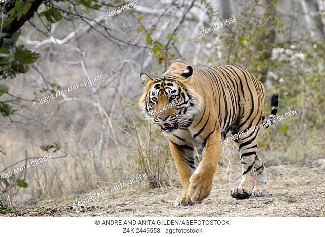 Bengal Tiger (Panthera tigris tigris) walking in forest facing forwards, Ranthambhore national park, Rajastan, India