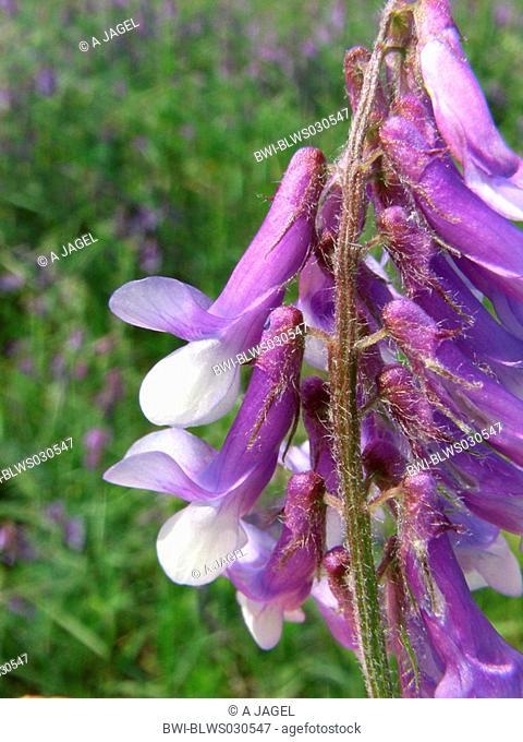 winter vetch, shaggy vetch Vicia villosa, blossoms, Poland