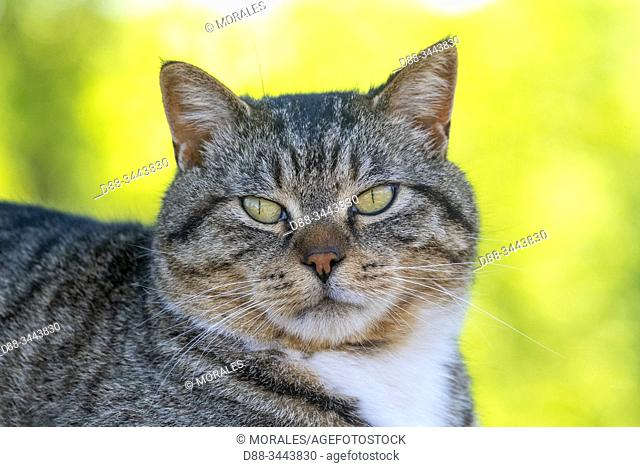 Etats-Unis, Minnesota, Chat domestique (Catus domesticus) / United States, Minnesota, Domestic cat Catus domesticus)