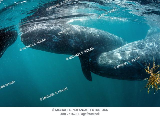California gray whale, Eschrichtius robustus, mother and calf underwater in San Ignacio Lagoon, Baja California Sur, Mexico