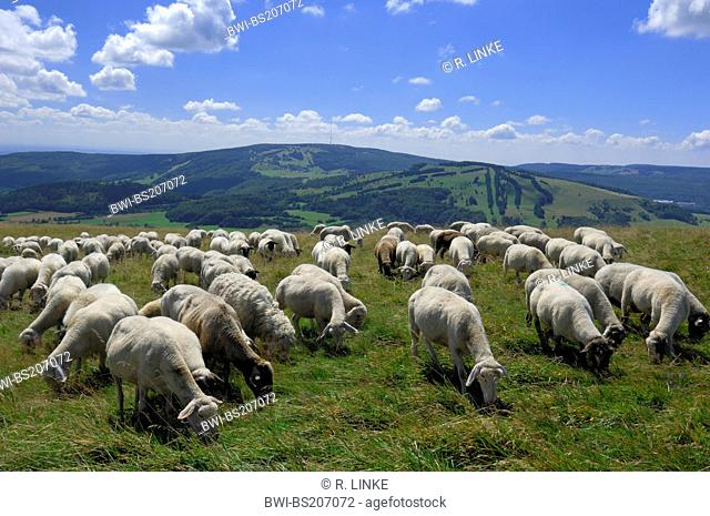 domestic sheep (Ovis ammon f. aries), herd of sheep in landscape, Germany, Bavaria, Rhoen