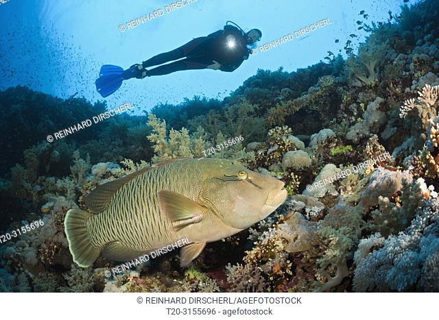 Scuba Diver and Napoleon Wrasse, Cheilinus undulatus, Brother Islands, Red Sea, Egypt