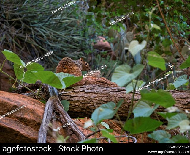 A red brown squirrel sits on a red stone in the woods