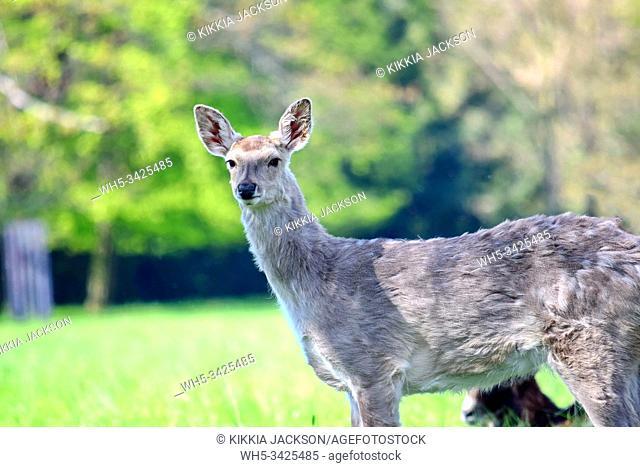Dybowskii Female Deer in the Forest, Czech Republic