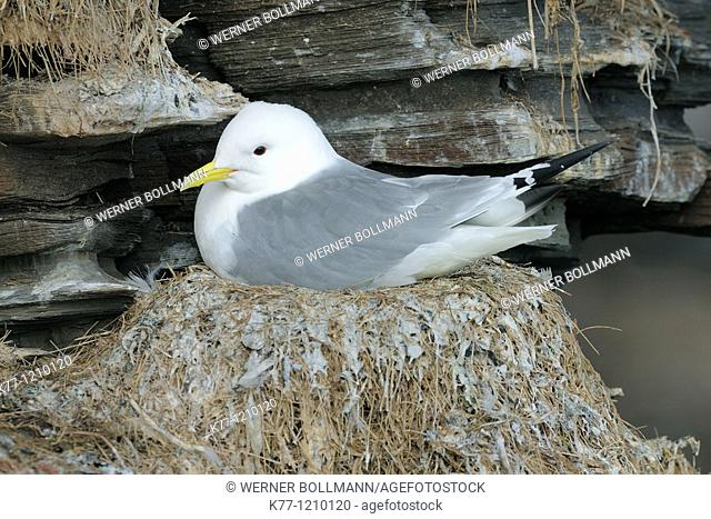 Kittiwake (Rissa tridactyla), breeding, Norway