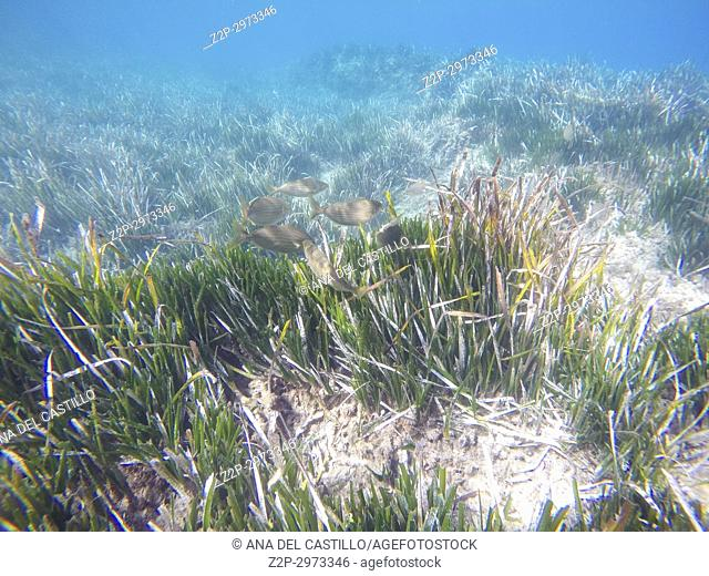Underwater image in Cabo de Gata nature reserve in Almeria, Andalusia, Spain. Posidonia oceanica seagrass, Neptune grass or Mediterranean tapeweed