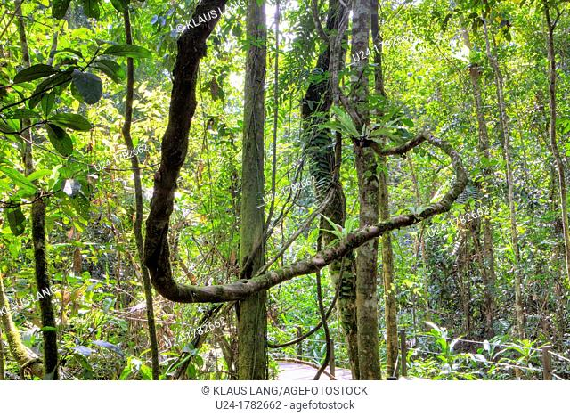Rainforest, Abai Jungle, Borneo, Malaysia