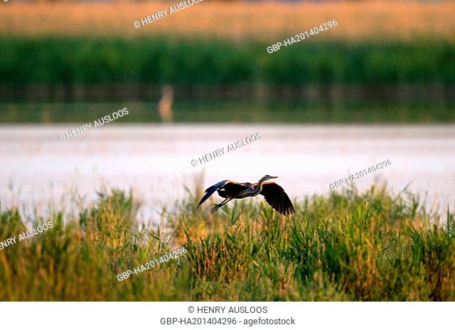 Purple Heron, Ardea purpurea, flying, 19/05/2009