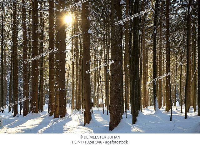 Sun shining through spruce trees in the snow in winter
