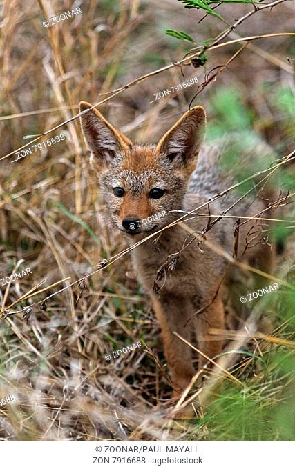 Black-Backed Jackal ( Canis mesomelas ) pup, NorthwestProvince Kruger National Park, South Africa