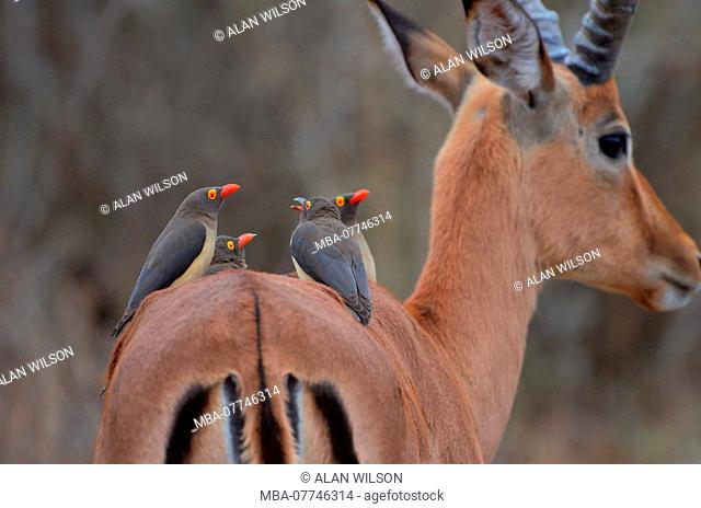 Red-billed Oxpeckers on an Impala, in Kruger National Park