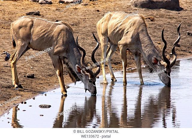 Greater Kudu (Tragelaphus strepsiceros) drinking at Chudob Waterhole in Etosha National Park - Namibia, Africa
