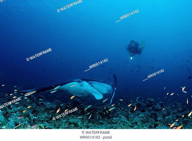Manta and Diver, Manta birostris, Indian Ocean, Maldives Island