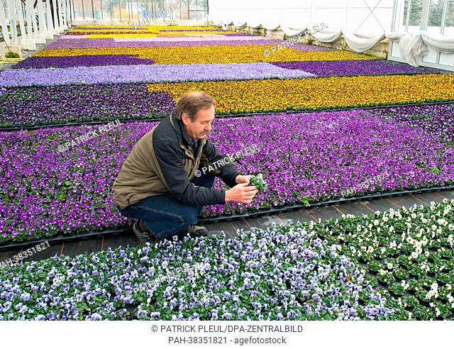 Head of the Fontana horticulture GmbH Klaus Henschel sits in a greenhouse full of blooming pansies in Manschnow, Germany, 22 March 2013