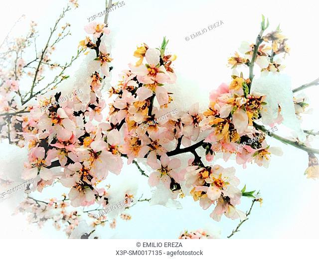 Snowed almond tree flowers