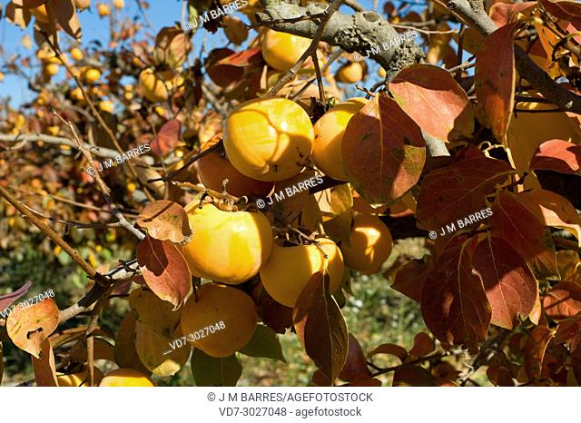 Kaki or persimmon (Diospyros kaki) is a deciduous tree native to China but widely cultivated for its edibles fruits. This phot was taken in Baix Llobregat