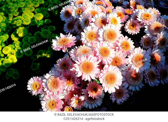 Chrysanthemum garden moneymaker