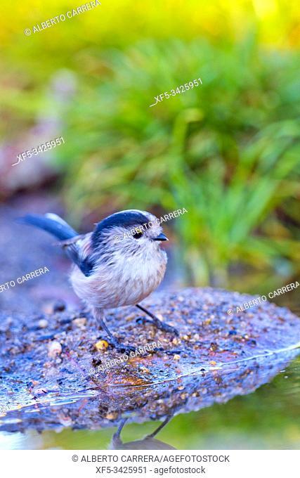 Long-tailed Tit, Aegithalos caudatus, Mito, Forest Pond, Castilla y León, Spain, Europe
