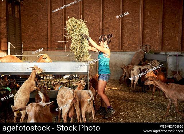 Female farmer putting hay in feeder