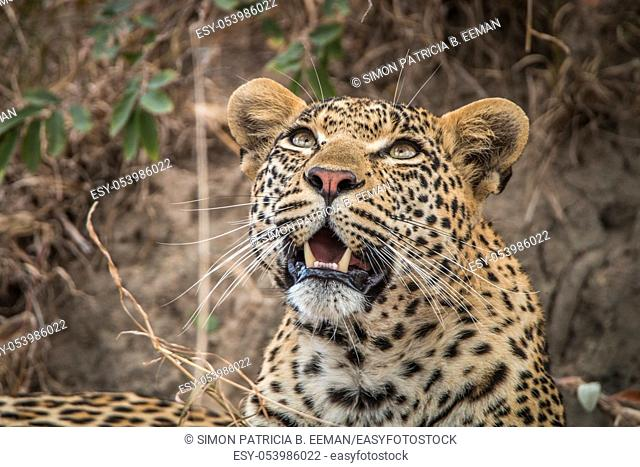 Leopard looking up in the Sabi Sands, South Africa