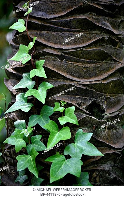 Ivy growing on ivory palm tree trunk, (Phytelephas macrocarpa), Jardín de Aclimatión de La Orotava, Botanical Gardens, Puerto de la Cruz, Tenerife, Spain