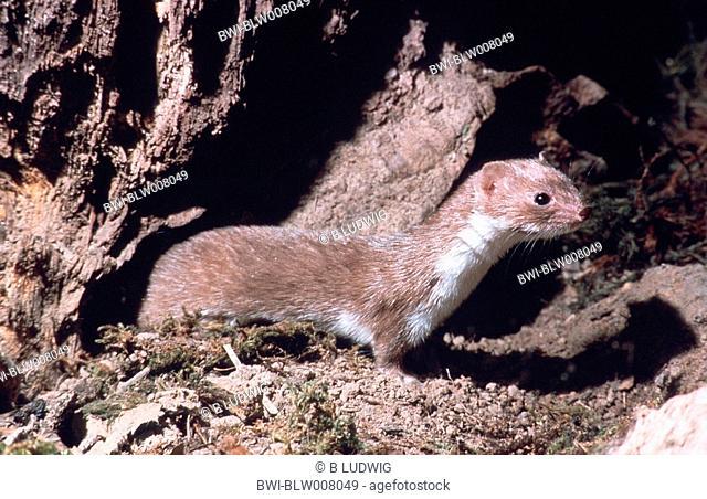 least weasel Mustela nivalis