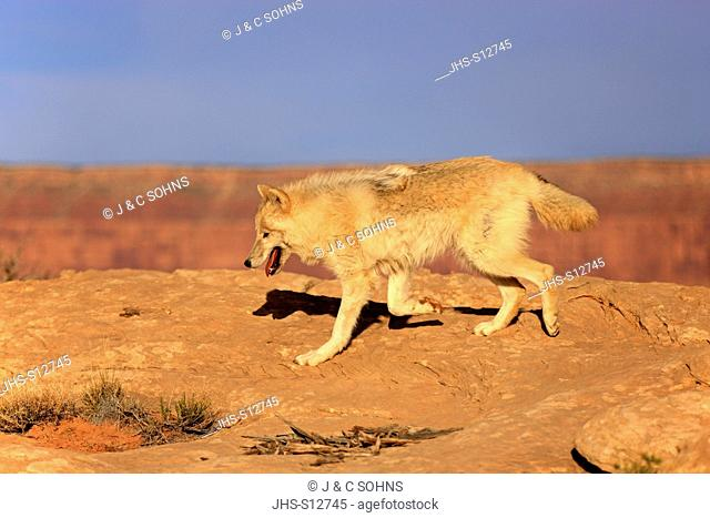 Gray Wolf, Timber Wolf, Canis lupus, Monument Valley, Utah, USA, North America, adult stalking