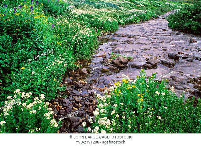 Summer bloom of bittercress and arnica, near headwaters of Lake Fork Gunnison River, American Basin, San Juan Mountains, Colorado, USA