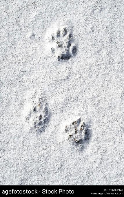 Close-up of footprints showing paw pads from European polecat (Mustela putorius) in the snow in winter
