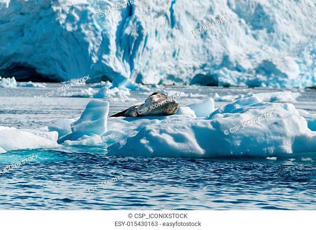 Leopard Seal resting on ice floe Antarctica