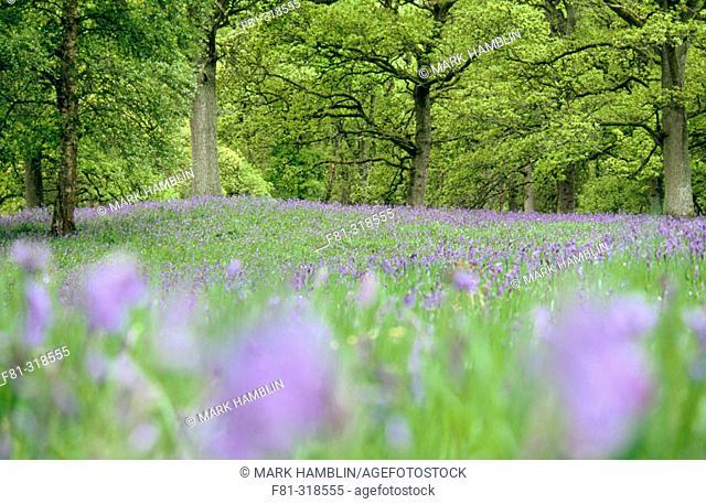 Bluebells Hyacinthoides non-scriptus in beech forest (Fagus sylvatica). Scotland. Uk