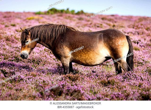 Exmoor Pony, Blooming heather, moorland, Exmoor National Park, Somerset, England, United Kingdom