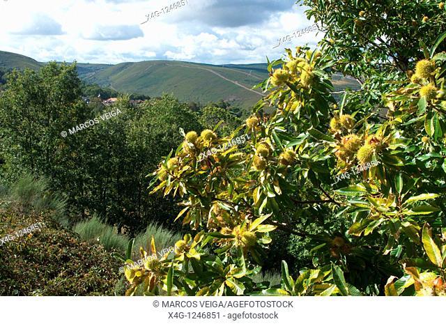 Chestnut tree Castanea sativa