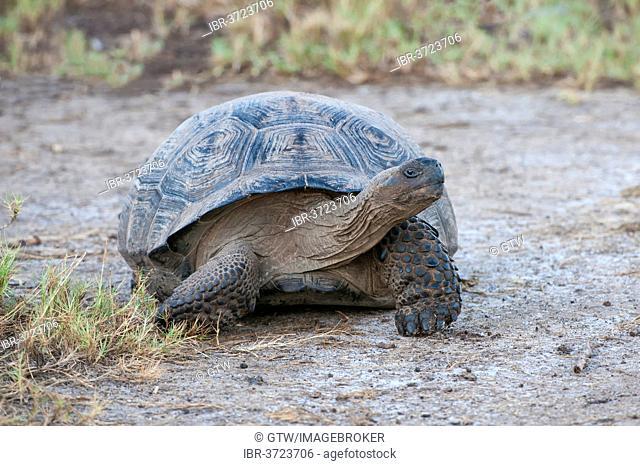 Galapagos Giant Tortoise (Geochelone elephantophus vandenburgi), Isabela Island, Galápagos Islands, Ecuador