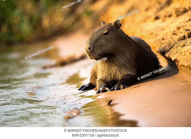 Capybara (Hydrochoerus hydrochoeris), resting on the bank of a river, Pantanal, Mato Grosso, Brazil