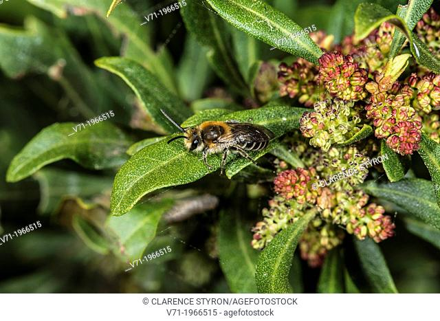 Wax Myrtle Myrica cerifera Flowers and Leaves with Willow Mining Bee Andrena salicifloris in Corolla, NC, USA