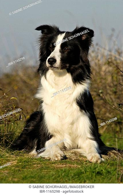 Border Collie lying on a lawn, looking in direction of camera