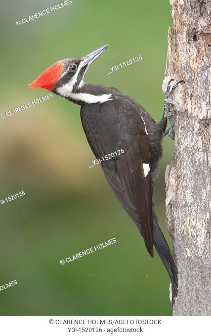 Pileated Woodpecker Dryocupus pileatus - Female, at Fort Desoto Park, Tierra Verde, Florida, USA