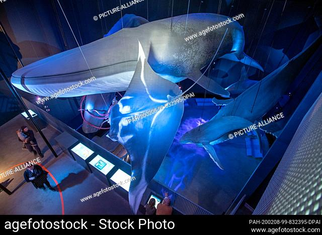 """05 February 2020, Mecklenburg-Western Pomerania, Stralsund: View of the replica of a large blue whale in the exhibition hall """"""""Giants of the Seas 1:1"""""""""""