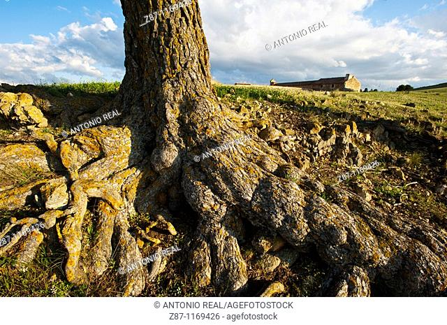 Pine roots, Almansa, Albacete province, Castilla-La Mancha, Spain